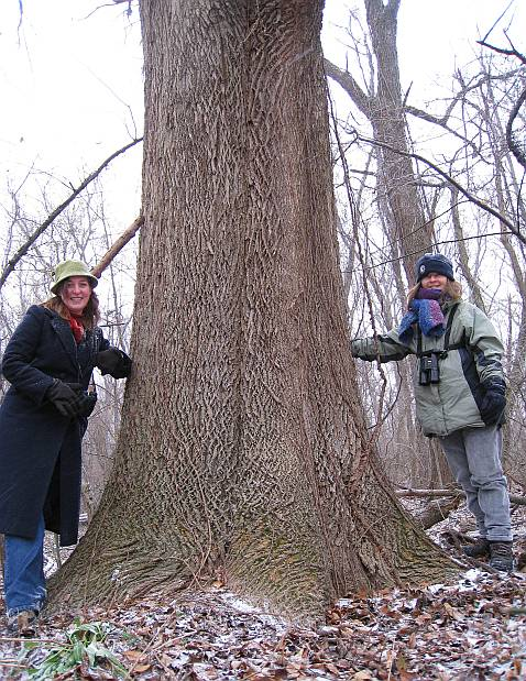 mature White Ash in Essex County, 2007