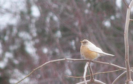 partial albino robin image by Melanie Thompson